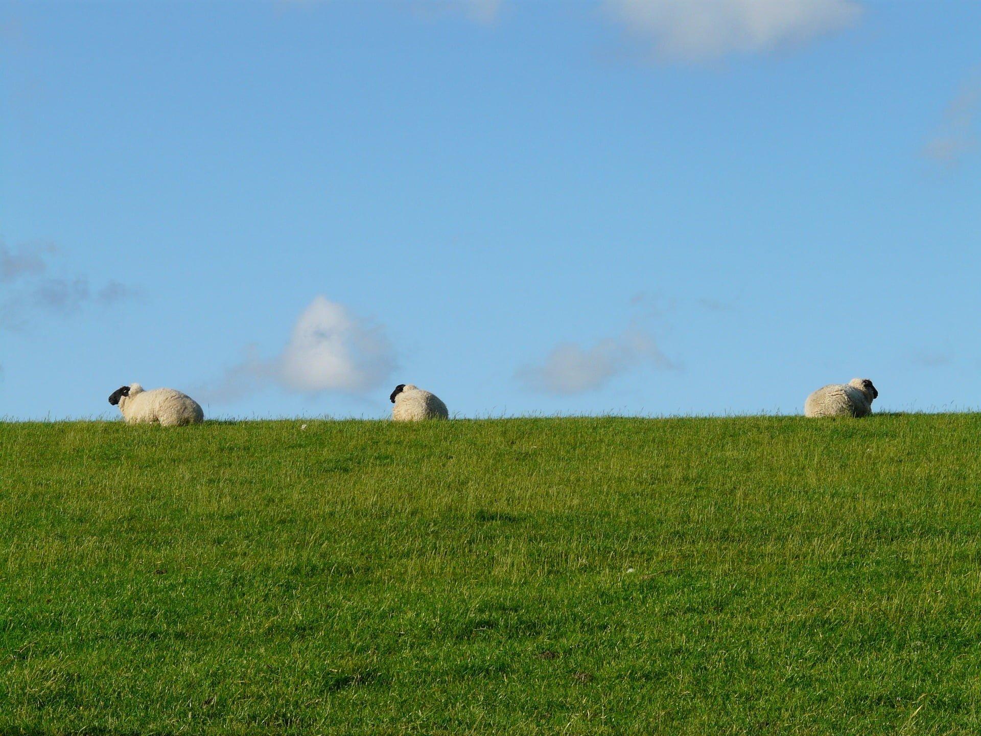 owce, środowisko