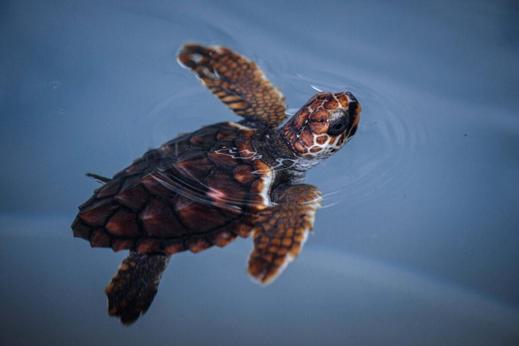 Plastik, żółw